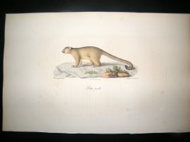 Saint Hilaire & Cuvier C1830 Folio Hand Colored Print. Female Lotto